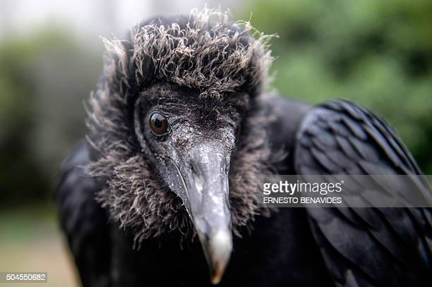 STORY by Luis Jaime Cisneros A blackheaded vulture is being trained by a falconer in Lima on January 9 2016 Equipped with GPS and cameras the...