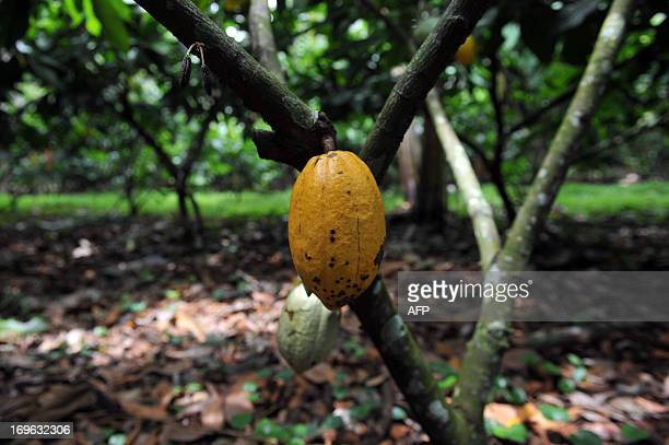 STORY by Marianela Jimenez Picture of a fruit of a cacao plant taken at the Association of Small Producers of Talamanca one of the biggest...