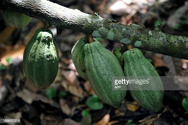 STORY by Marianela Jimenez Picture of the fruit of a cacao plant taken at the Association of Small Producers of Talamanca one of the biggest...