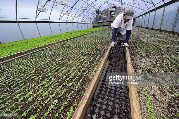 STORY by Paola Messana USagricultureenvironmentcity unusual A worker tends to lettuce seedlings grown in a rooftop greenhouse atop Eli Zabar's...