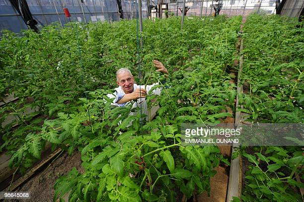 STORY by Paola Messana USagricultureenvironmentcity unusual Eli Zabar poses amongst tomato plants grown in a rooftop greenhouse set atop HIS Vinegar...