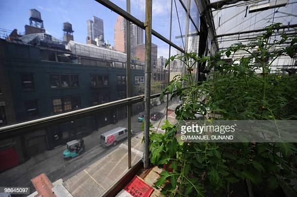 STORY by Paola Messana USagricultureenvironmentcity unusual Tomato plants grown in a rooftop greenhouse sit atop Eli Zabar's Vinegar Factory...