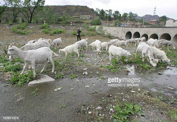 WATER by Robert J Saiget Goats ravage the dry riverbed of a major tributary to the Yongding river near Mentougou on the outskirts of Beijing 16 May...