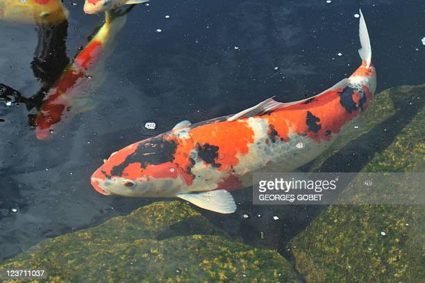 STORY by Roddy Thomson A picture taken on August 17 2011 shows Koi carps swimming in a pond of a breeding farm near Gent Police in Belgium admit they...