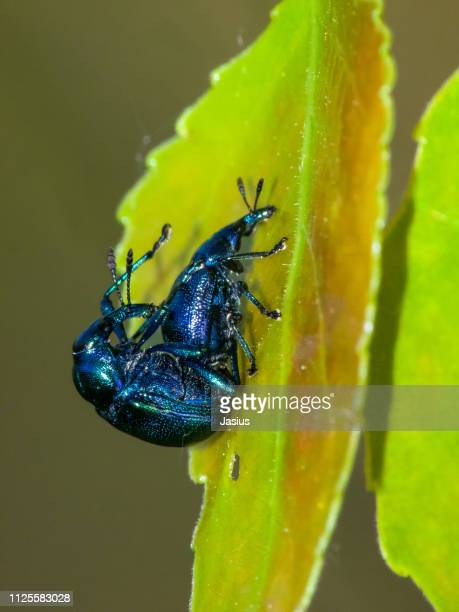 Byctiscus betulae – tooth-nosed snout weevil