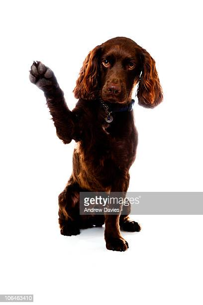 bye bye - spaniel stock photos and pictures