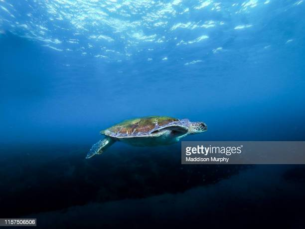 byron bay turtles - green turtle stock pictures, royalty-free photos & images