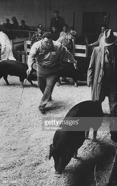 Byron Meech putting Poland China pigs through paces while on exhibit at the National Western Stock show