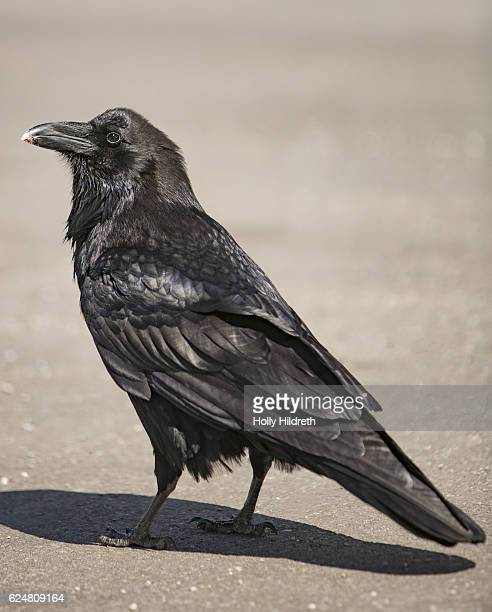 c. c. principalis (raven) - dead raven stock photos and pictures