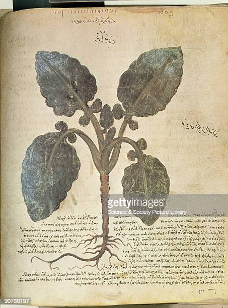 Cabbage An illustration from Dioscorides Codex Vindobonensis Medicus Graecus which was probably published in Constantinople in the 6th century...