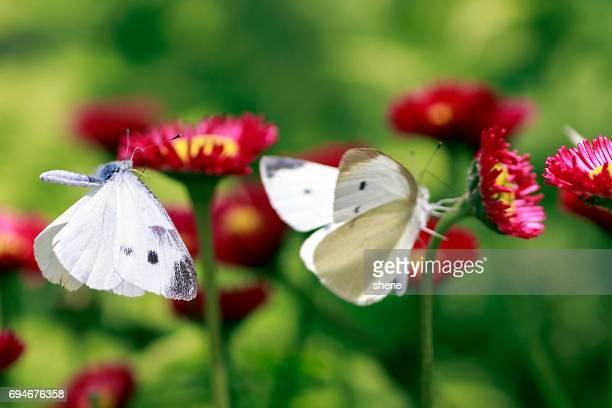 Cabbage Butterfly(Pieris Rapae) in Flight