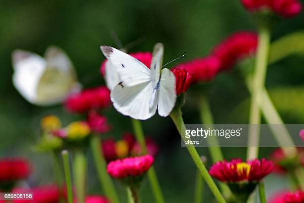 Cabbage Butterfly Landing onto the Flower