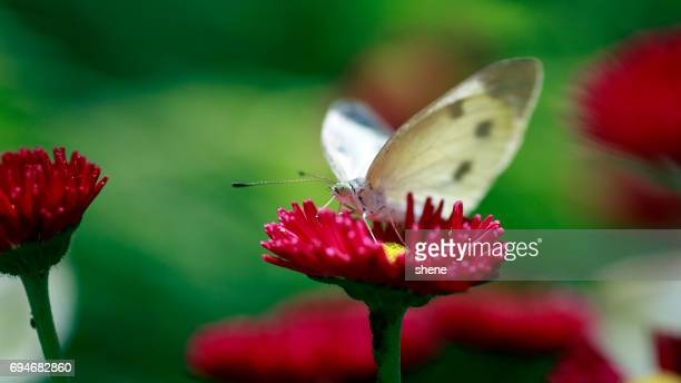 Cabbage Butterfly on Daisy