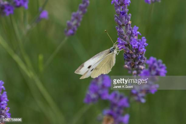 cabbage butterfly - janet scott stock pictures, royalty-free photos & images
