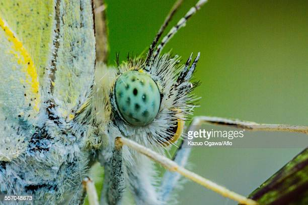 cabbage butterfly - bug eyes stock photos and pictures