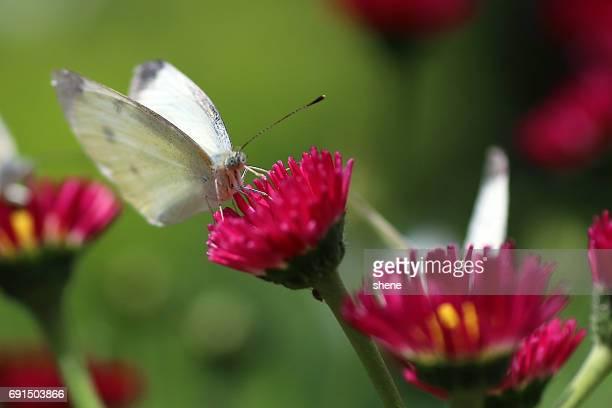 Cabbage Butterfly(Pieris Rapae)