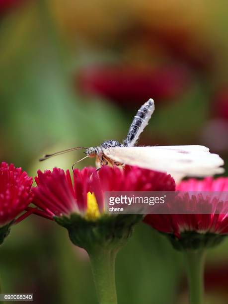 Cabbage Butterfly's Bizarre Pose on the Daisy Flower