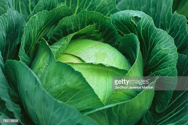 Cabbage covered with dew, close-up