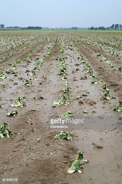Kohl Crop Schäden