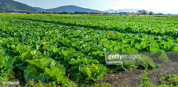 cabbage farm in itoshima, japan - 農園 ストックフォトと画像