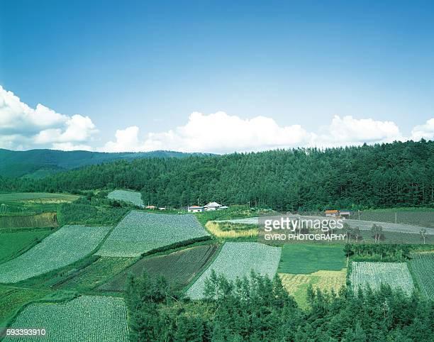 Cabbage fields in Gumma Prefecture, Japan