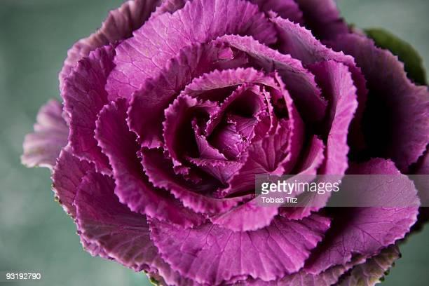 A cabbage flower
