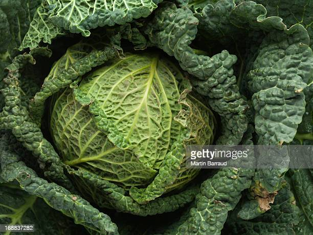 cabbage, full frame - still life stock pictures, royalty-free photos & images