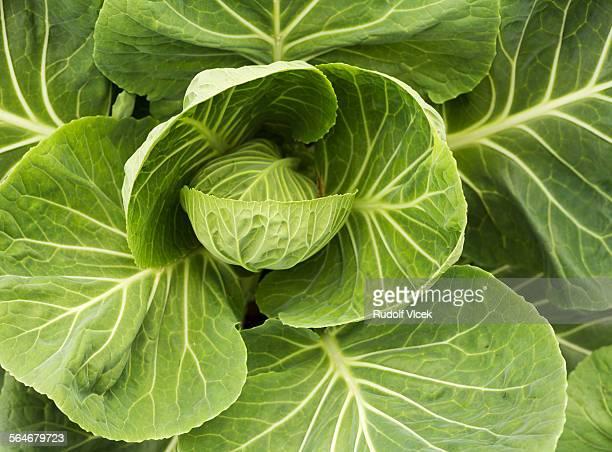Cabbage full frame