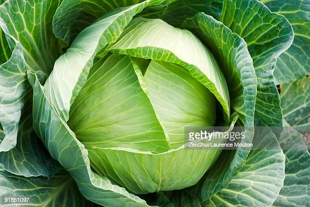 Cabbage growing, close-up