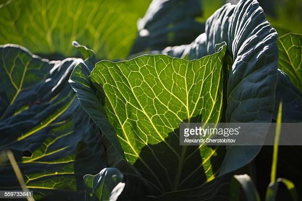 Cabbage in the garden