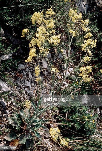 Cabbage inflorescence , Brassicaceae.