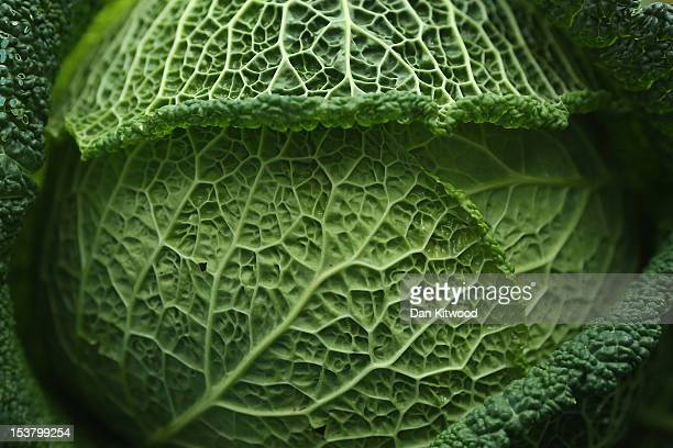 A cabbage is displayed at the RHS London Harvest Festival Show on October 9 2012 in London England Growers from across the UK come together for the...