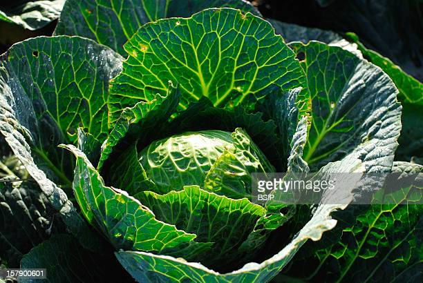 Cabbage King'S Vegetable Garden At Versailles Castle, France.Cabbage .