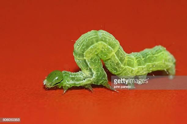 Cabbage Looper caterpillar crawling on red mat
