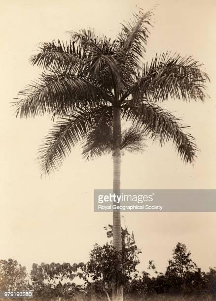 Cabbage palm tree near Claremont Jamaica 23/03/1892