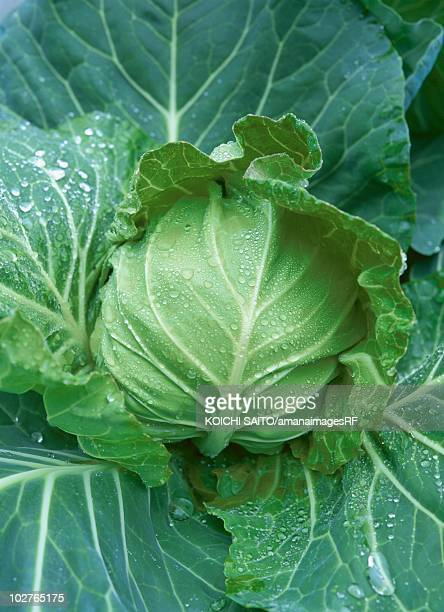 cabbage - cavolo cappuccio verde foto e immagini stock