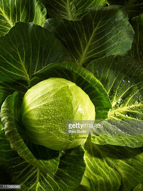 cabbage - cabbage family stock photos and pictures