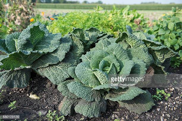 Cabbage plant garden vegetable harvest field