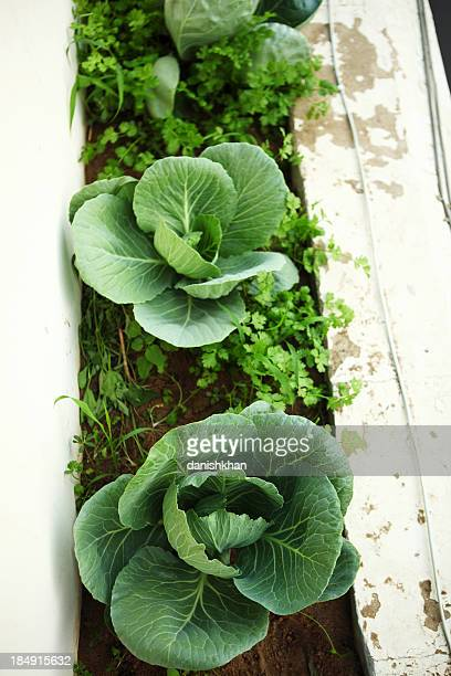 Cabbage Planted in outer Balcony Kitchen Urban Garden