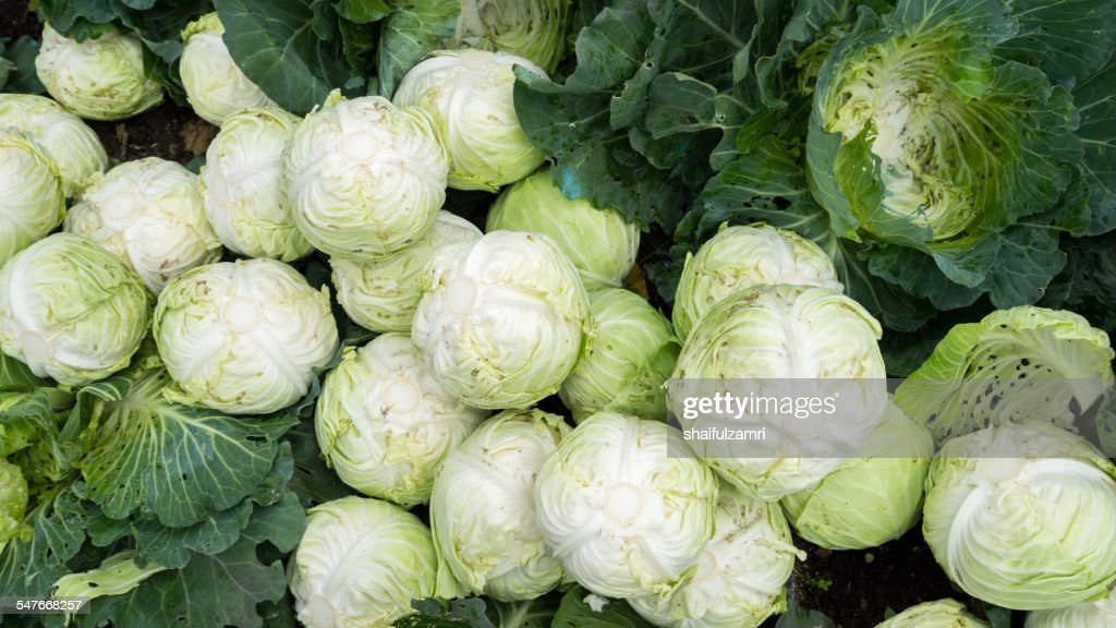 cabbage ready to process : Stock Photo