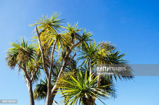 Cabbage Tree (Cordyline australis) in Northland, New Zealand
