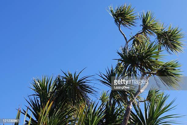 Cabbage Tree (Cordyline Australis), New Zealand