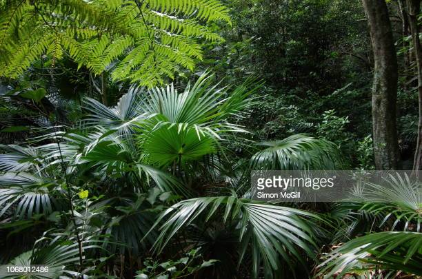 cabbage tree palm (livistona australis), ferns and other rainforest plants on the mount keira track, illawarra escarpment state conservation area, new south wales, australia - rainforest stock pictures, royalty-free photos & images