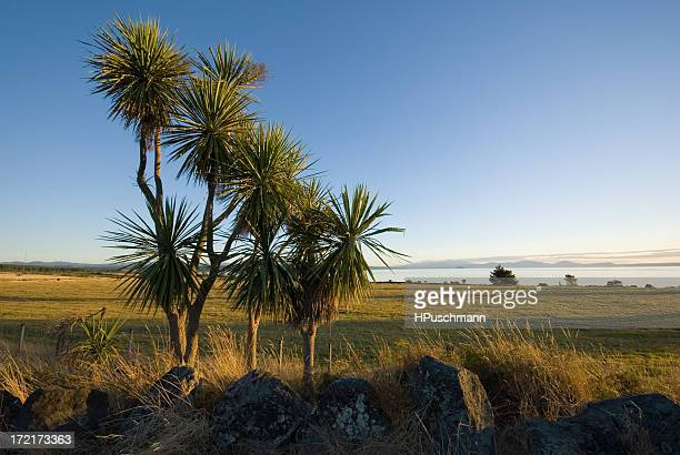 Cabbage Trees at Lake Taupo