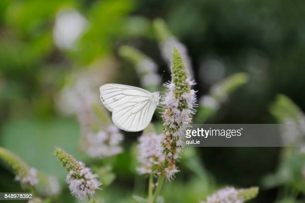 Cabbage white butterfly and mint