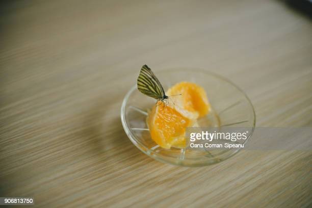 Cabbage white butterfly feeding on an orange