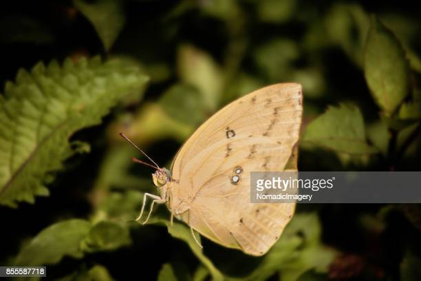 Cabbage White Butterfly macro photo in nature