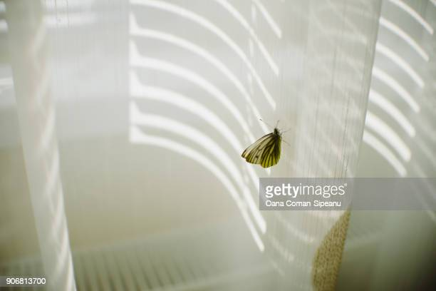 Cabbage white butterfly on a curtain