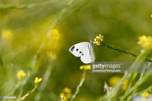 Cabbage white butterfly on yellow flower