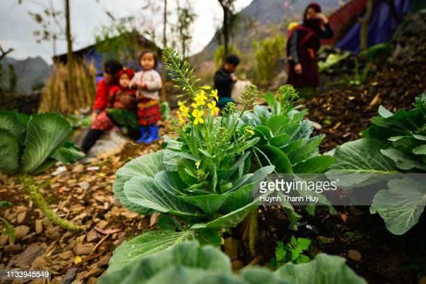 a cabbage with cauliflower - crucíferas - fotografias e filmes do acervo